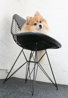 Bella on her wire chair | http://modernica.net/fiberglass-shell-chairs/fiberglass-and-wire-chairs/