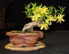 Fred forsythia my pot