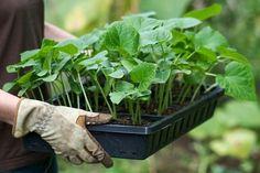 Известно, что тыквенные культуры плохо переносят пересадку. Поэтому огурцы сеют семенами сразу в грунт. Но в наших местах тепло приходит, как правило, поздно, и огурцы поспевают не раньше конца июля…
