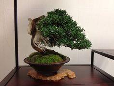 kokufu-ten bonsai exhibition - Buscar con Google