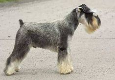 Image result for miniature schnauzer salt and pepper