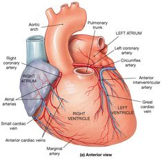 Circumflex Artery: supplies the left atrium and the posterior walls of the left ventricle. Biology Science Fair Projects, Biology Lessons, Coronary Circulation, Ekg Interpretation, Biology College, Biology Memes, Heart Anatomy, Cardiac Nursing, Heart Projects