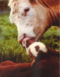 little baby and the mommy! I love cows! <3