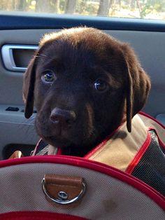 chocolate labrador puppy sticking out