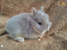 Baby Netherland Dwarf Bunnies | Rushden, Northamptonshire | Pets4Homes