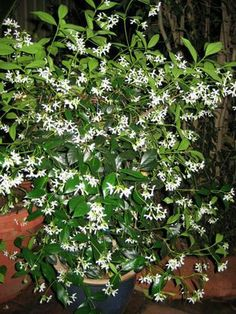 Jasmine Plant: I just want a porch so I can jasmine plants on it...my favorite smell of all.