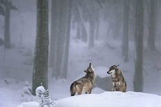 I love wolves, they are the symbol of our wild nature