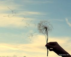 Dandelion blowball and flying seeds in front of sky |   #PhotoLanda #andalucia #wind #viento #guadahortuna #free #libertad