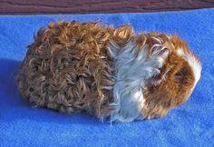 texel guinea pig baby - Sök på Google