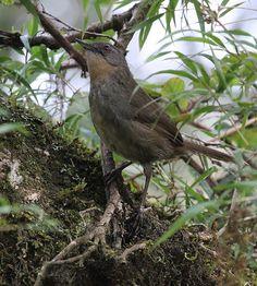Sri Lanka Bush-Warbler Elaphrornis palliseri photos   ..rh