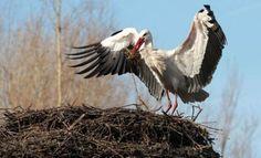 Ooivaarsmannetje weer op het nest in Galecop