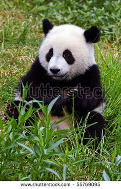 Stock Images similar to ID 240792523 - lying cute young giant panda...