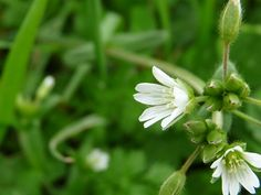Chickweed (Stellaria media) is wild, edible and nutritious food. Identify chickweed via its pictures, habitat, height, flowers and leaves. Growing Gardens, Growing Plants, Deadly Plants, Leaf Identification, Edible Wild Plants, Flower Food, Wild Edibles, Healing Herbs, Edible Flowers