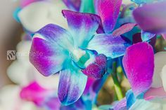Blue Purple Dendrobium Orchids