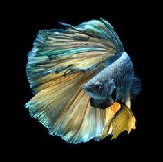 Betta Fish (Siamese Fighting Fish) by Visarute Angkatavanich Photography