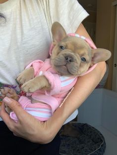 NW Frenchies Lilac Sable French Bulldog Puppy - French Bulldog Puppies for Sale in Washington State Cute French Bulldog, French Bulldog Puppies, Cute Dogs And Puppies, Baby Dogs, Doggies, Teacup French Bulldogs, American Bulldog Puppies, Cute Little Animals, Cute Funny Animals