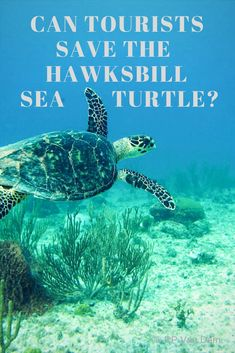 Hawksbill sea turtles are endangered. Can we save the hawksbill sea turtle while we travel?