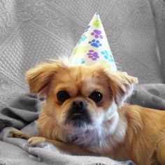 Pekingese Birthday !