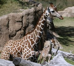 A pregnant giraffe at the Dallas Zoo is expected to give birth any day now, and the momentous occasion will be broadcast live online.