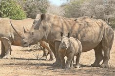 White rhino & calf, photographed in Kruger National Park, South Africa