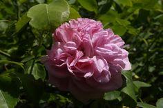 里親さんブログ薔薇の季節ですね~^^v - http://iyaiya.jp/cat/archives/75450