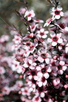 The Manuka flower in bloom on a Tea Tree in soft focus. Manuka Tree, Stock Imagery, What Image, Tree Images, Closer To Nature, Photo Tree, Tea Tree Oil, Shrubs, New Zealand