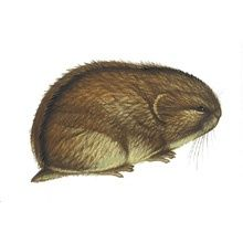 North American Mammals: Dicrostonyx richardsoni : Species Information Arctic Lemming, Watercolor Lettering, Watercolour, Street Art, Polar Animals, Illustrations, Brown And Grey, Mammals, Collars