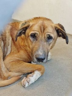 ★SUPER-URGENT!★This sweet boy looks like he has some irritation and infection on his ears and he is very, very sad. Please take a look at his Video and SHARE, he needs some help. Thanks!  #A4773786 I'm an approximately 6 year old male germ shepherd. I am not yet neutered. https://www.facebook.com/171850219654287/photos/pb.171850219654287.-2207520000.1415752360./327914504047857/?type=3&theater