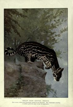 The living animals of the world; a popular natural history with one thousand illustrations; (1902)