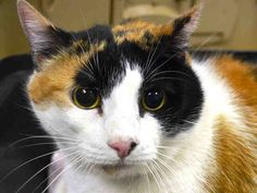 """KIA - A1033951**TO BE DESTROYED 04/26/15** KIA is a spayed 12-year-old lady whose former owner definitely knew how to dole out the munchies; Kia pegged a 9/9 on her body conditioning score, which means this pretty girl is the very definition of """"obese."""" That same owner definitely did not know how important it was to Kia that she be able to stay with the family who loved her; that person dumped her at the ACC in the course of moving to new digs. Kia does not appreciate the change in…"""