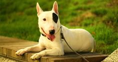 Thinking of training your Bull Terrier! Check out some tips.. #Petsworld #Dogtraining