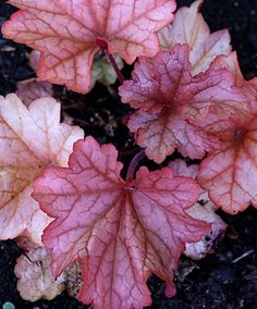 "Heuchera 'Paprika' - Sun/Bright Shade - rose-orange in the Spring, peach in the Summer, deep merlot in the Fall - there is vivid interest for every season. Growing to 8"" tall to 16"" wide. Bright red stalks to 12"" tall are speckled with tiny white bell flowers in Spring. Perfect for part to full shade & can handle heat, humidity, cold, drought & just about anything you throw at it - so long as it isn't overly-watered & has rich, fertile soil. Growing to 8-12"" tall & 12-18"" wide."