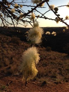 Kalahari Desert Flowers on Dusk - Africa - professional Diamond Buyer - www.brisbanediamondcompany.com.au Phone +61449849880