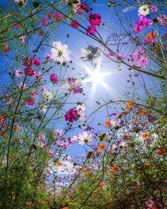 Cosmos and sunshine 💛 - Blumenwunder - Flowers Flower Pictures, Nature Pictures, Pretty Pictures, Flowers Pics, Amazing Flowers, Wild Flowers, Beautiful Flowers, Spring Flowers, Flower Wallpaper