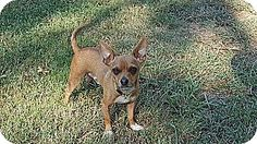 Hagerstown, MD - Chihuahua Mix. Meet Ernie (200 adoption fee), a dog for adoption. http://www.adoptapet.com/pet/16830066-hagerstown-maryland-chihuahua-mix