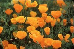 Sow these silky, golden-orange California Poppies to cover a neglected or hard-to-cultivate area or for a memorable display in a large garden space. Their bright, fluted blossoms will dance above feathery gray-green foliage to cloak the ground for weeks. These natives are easy to grow and drought tolerant, providing a carefree spring carpet of bloom in all climate zones.