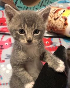 Cute Baby Cats, Cute Cat Gif, Cute Little Animals, Cute Funny Animals, Kittens And Puppies, Baby Kittens, Cute Cats And Kittens, Kittens Cutest, Beautiful Cats