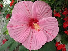 Peppermint Schnapps Giant Hibiscus Rose Mallow  Huge Flowers  Gallon Pot -- For more information, visit image link.(This is an Amazon affiliate link and I receive a commission for the sales) #PlantsSeedsBulbs