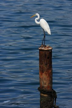 The Chinese Egret by eugenemoore on Flickr  Chinese Egret or Swinhoe's Egret (Egretta eulophotes) is a threatened species of egret from east Asia.