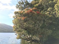 Southern Rata tree on Stewart Island Citizen Science, Walking In Nature, Conservation, New Zealand, National Parks, Wildlife, Southern, Sky, Island