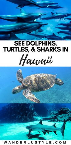 How to Swim with dolphins during your Hawaii vacation! Hawaii Experiences has a great tour, perfect for the family! - Hawaii Travel Tips, Hawaii Dolphin Swim, Oahu travel tips, Hawaii travel, Oahu Hawaii, | Wanderlustyle.com #hawaii #oahu #dolphins #islandlife