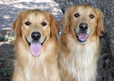 These are Chip and Scout 2 yr old litter mates. They are neutered, current on vaccinations, potty trained, know basic commands, walk well on leash, no young kids. They are a bonded pair of high energy brothers. They both need continued training and plenty of daily exercise. Arizona Golden Rescue Glendale, AZ. - https://www.petfinder.com/petdetail/30231794/ - https://www.petfinder.com/petdetail/30231833/ - http://www.arizonagoldenrescue.org/dogs/available-dogs.html