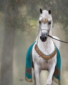 — Arabian horse. #white #gray                                                                                                                                                                                 More