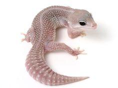 I've been bitten by the gecko bug. Leopard Gecko Cute, Leopard Gecko Morphs, Reptile Habitat, Reptile Cage, Reptile Enclosure, Reptile Pets, Cute Reptiles, Reptiles And Amphibians, Cute Kittens