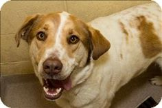 Birmingham, AL - Border Collie/Retriever (Unknown Type) Mix. Meet Shilo a Dog for Adoption.