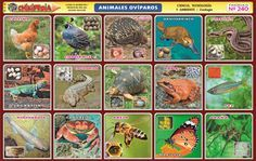 lamina de animales oviparos y viviparos - Buscar con Google Science, Baseball Cards, Nature, Kids, Painting, Google, Sticker, Disney, Teaching Supplies
