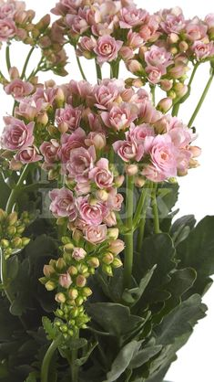 Kalanchoe Blossom Pink Meadow