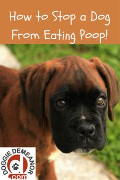 How to stop a dog from eating poop...and, why he does it.