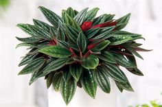 Peperomia Rosso-So many different types of leaves on Peperomia plants. Learn care tips for all peperomia at: https://www.houseplant411.com/houseplant/peperomia-caperata-how-to-grow-care-tips