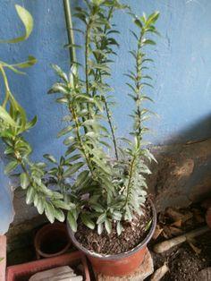 -Nombre científico o latino: Buxus sempervirens - Nombre común o vulgar: Boj, Boj común, Boje. - Familia: Buxaceae. - Origen: originario de Europa, norte de África y oeste de Asia.